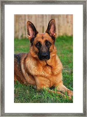 German Shepherd Dog Portrait - Forrest Framed Print