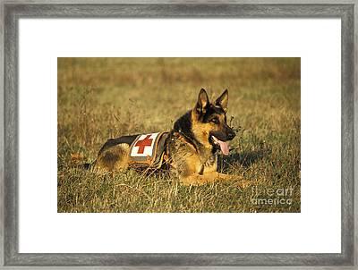 German Shepherd Dog Rescue Dog Framed Print by Gerard Lacz