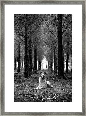 German Shepherd Dog Sitting Down In Woods Framed Print by Adam Hirons Photography