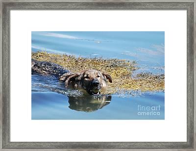 German Shepherd Dog Swimming With A Tennis Ball Framed Print