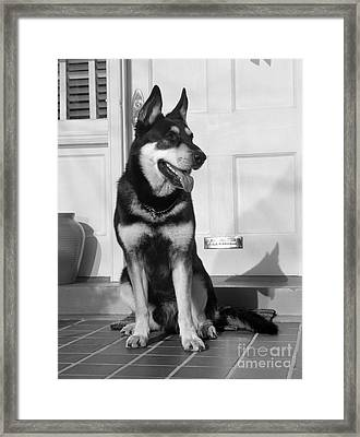 German Shepherd On Front Porch, C.1950s Framed Print