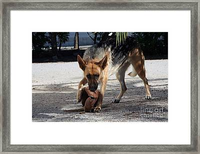 German Shepherd Playing Framed Print by Andre Goncalves