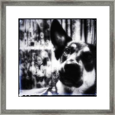 German Shepherd Portrait In B And W Framed Print