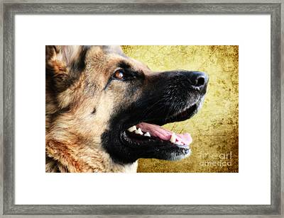 German Shepherd Portrait Framed Print by Nichola Denny