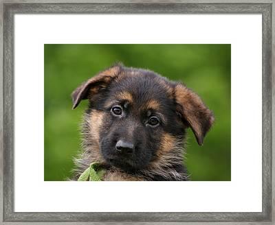 German Shepherd Puppy Close-up Framed Print