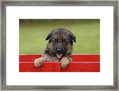 German Shepherd Puppy In A Wagon Framed Print by Sandy Keeton