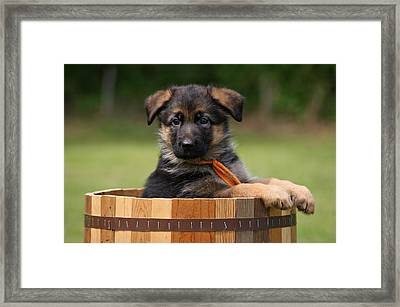 German Shepherd Puppy In Planter Framed Print by Sandy Keeton