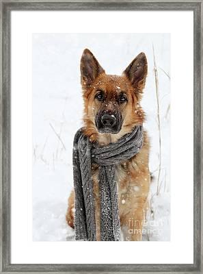 German Shepherd Wearing Scarf In Snow Framed Print
