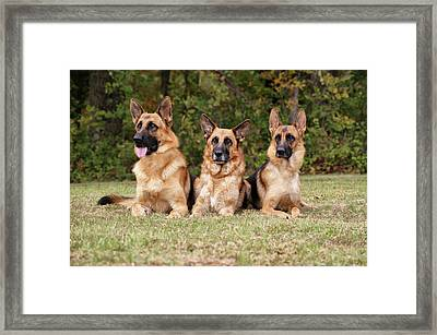 German Shepherds - Family Portrait Framed Print by Sandy Keeton