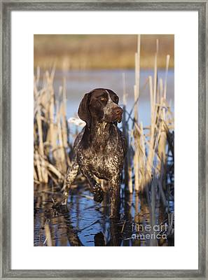 German Shorthair On Point -  D000897 Framed Print