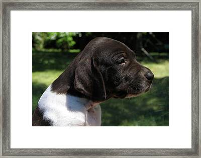 German Shorthaired Pointer Puppy Framed Print by James Hammen