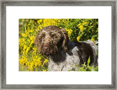 German Wirehaired Pointer In Autumn Framed Print