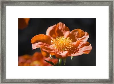 Geum Scarlet Avens Framed Print