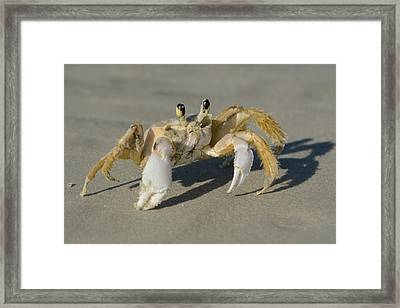 Framed Print featuring the photograph Ghost Crab by Bradford Martin