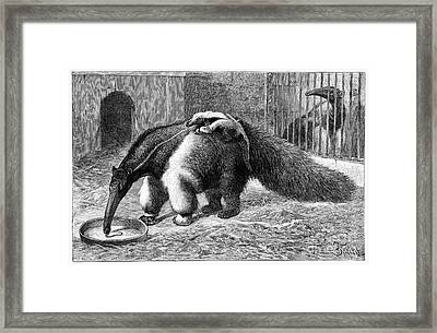 Giant Anteater And Cub, 19th Century Framed Print