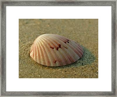 Giant Atlantic Cockle Framed Print by Juergen Roth