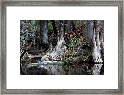 Giant Cypress Knees Framed Print