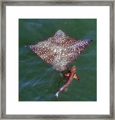 Giant Eagle Ray Framed Print by Bill Perry