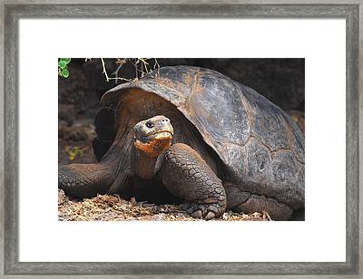 Giant Galapagos Tortoise Framed Print
