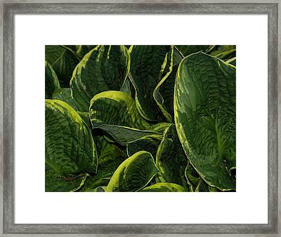 Giant Hosta Closeup Framed Print
