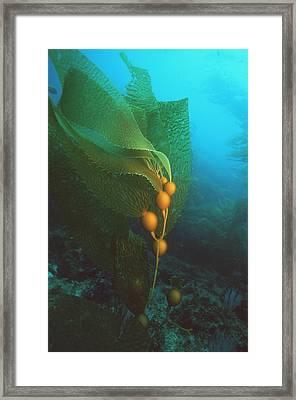 Giant Kelp Framed Print by Georgette Douwma