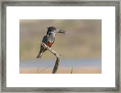 Giant Kingfisher Framed Print