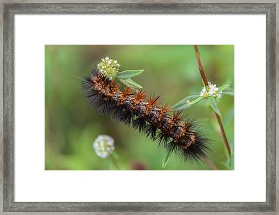 Giant Leopard Moth Caterpillar Framed Print