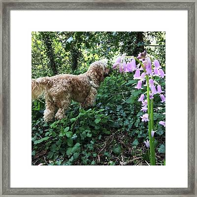 Giant Lilac Bluebells #bluebells #wild Framed Print