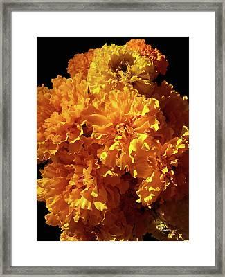 Giant Marigolds Framed Print