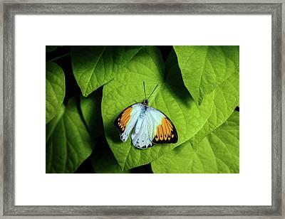 Giant Orange Tip Butterfly Framed Print by Tom Mc Nemar