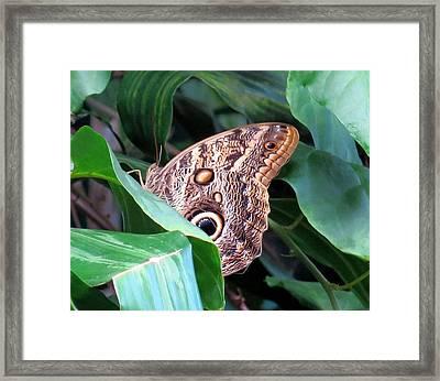 Giant Owl Butterfly Framed Print