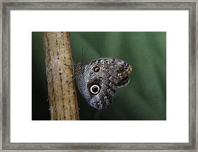 Giant Owl Butterfly On Screw Pine Framed Print