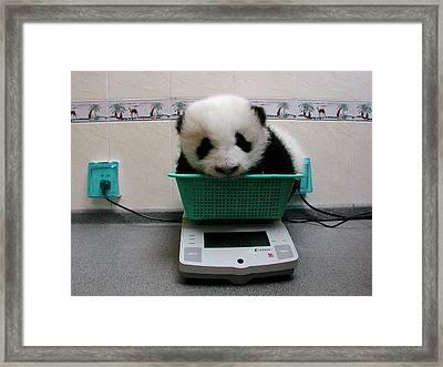 Giant Panda Ailuropoda Melanoleuca Baby Framed Print by Katherine Feng