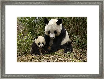 Framed Print featuring the photograph Giant Panda Ailuropoda Melanoleuca by Katherine Feng