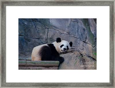 Giant Panda Framed Print by Donna Brown