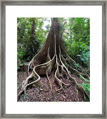 Giant Rain Forest Tree Framed Print by Dirk Ercken