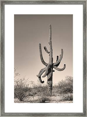 Giant Saguaro Cactus Sepia Image Framed Print by James BO  Insogna