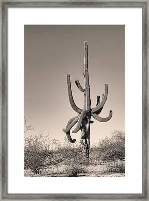 Giant Saguaro Cactus Sepia Image Framed Print