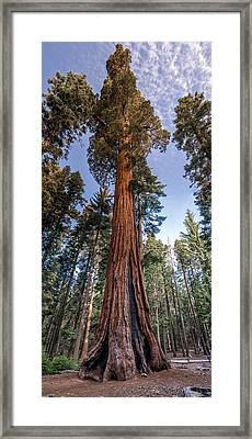 Giant Sequoia Framed Print by Phil Abrams