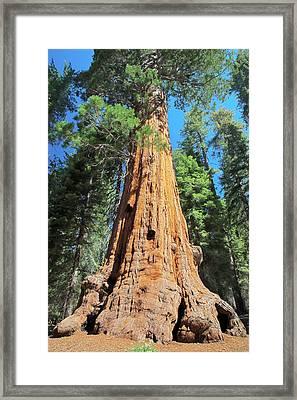 Giant Sequoia Framed Print by Rick Pham