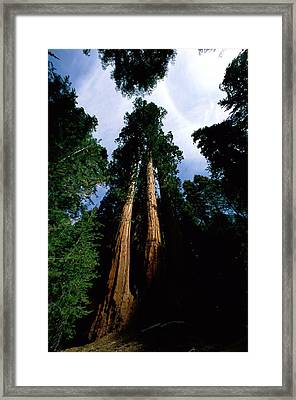 Giant Sequoia Trees Sequoiadendron Framed Print