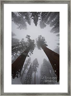 Giant Sequoias Framed Print by Gregory G. Dimijian, M.D.