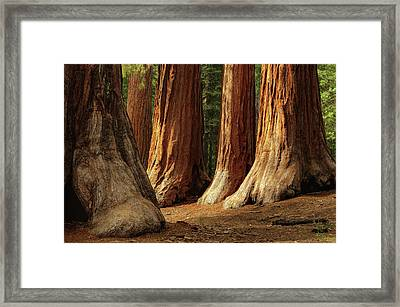 Giant Sequoias, Yosemite National Park Framed Print by Andrew C Mace