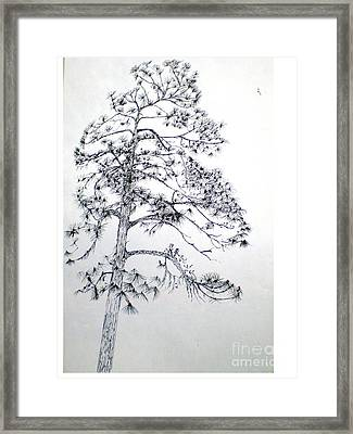 Giant Silver Pine Tree Framed Print by Hal Newhouser