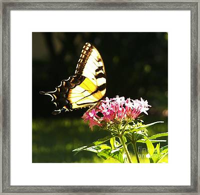 Giant Swallowtail On Penta Framed Print