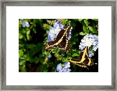Giant Swallowtails Framed Print by Steven Scott