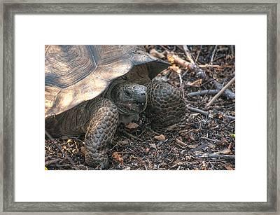 Giant Tortoise At Urbina Bay On Isabela Island  Galapagos Islands Framed Print