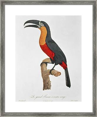 Giant Touraco Framed Print by Jacques Barraband