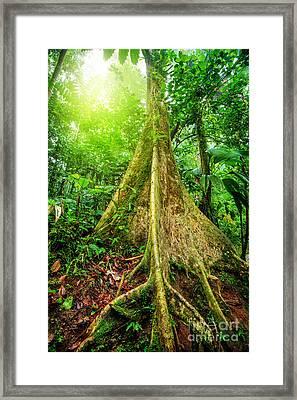 Giant Tree In Rainforest Framed Print