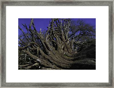 Giant Tree Roots Framed Print